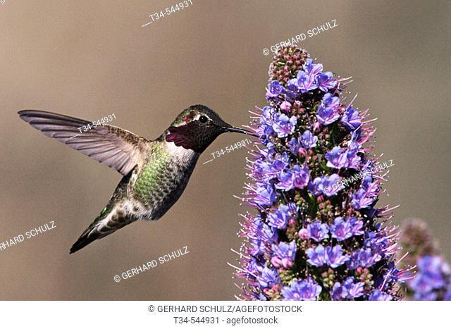 Ruby-throated hummingbird (Archilochus colubris). California, USA