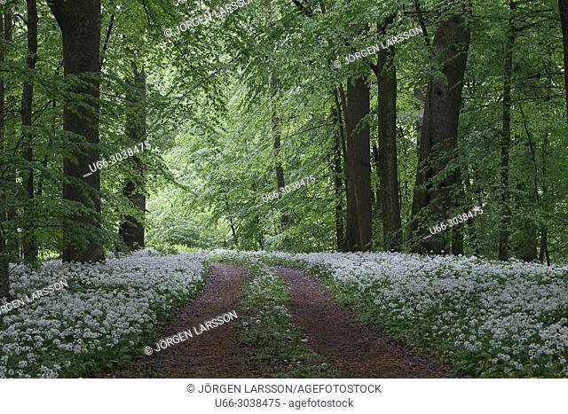 Ramson beech forest. Spring in Skane, Sweden