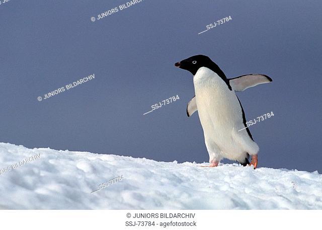 pygoscelis adeliae / adelie penguin
