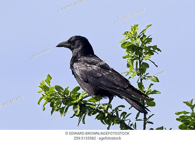 Carrion crow (Corvus corone) a member of the Corvid family, East Sussex, UK