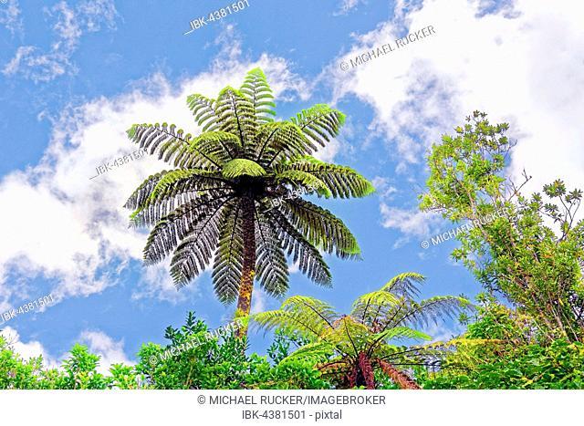 Silver tree-fern, also silver fern or ponga (Cyathea dealbata) in subtropical rainforest, Waipoua Forest, North Island, New Zealand