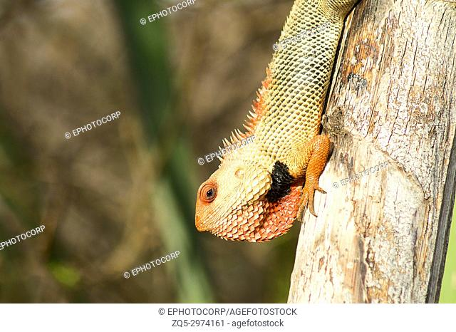 Close-up of a Oriental Garden Lizard, Calotes versicolor, Maharashtra, India