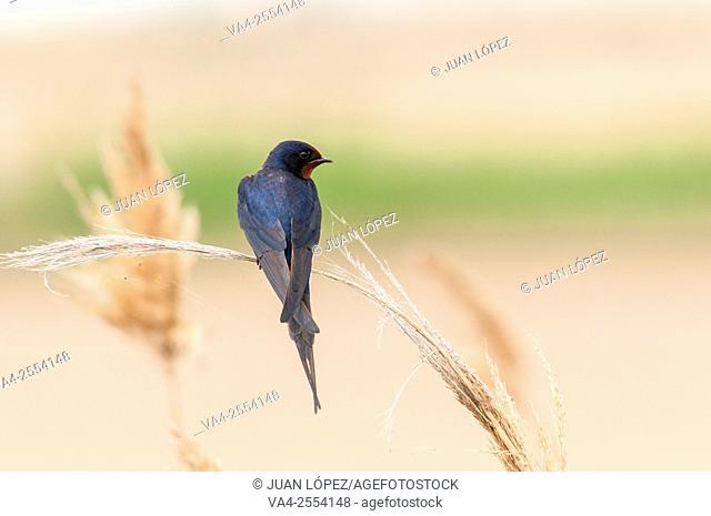 Barn swallow Hirundo rustica. Ebro Delta, Catalonia, Spain