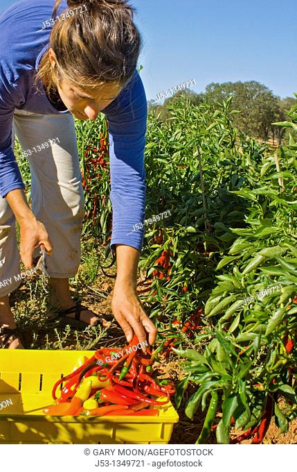 Young woman picking peppers on small organic farm, Nevada City, California