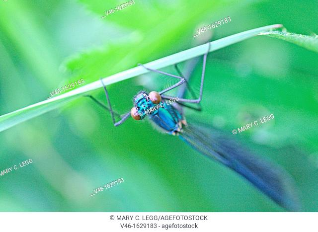 Banded Demoiselle, Calopteryx splendens clings to grass blade  Male is metallic blue  Upper body  Female is brilliant emerald