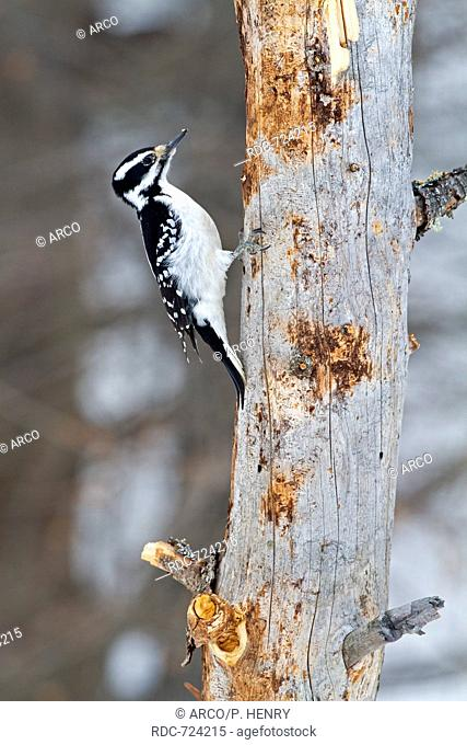 Hairy woodpecker, female climbing up to a tree, Picoides Villosus, Quebec, Canada