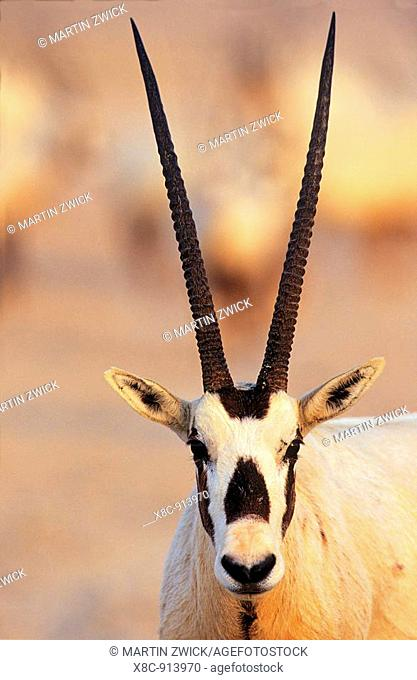 Arabian Oryx Oryx leucoryx on Sir Bani Yas Island, United Arab Emirates, April 2001