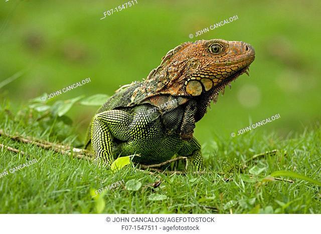 Green Iguana Iguana iguana. Costa Rica, tropical rainforest