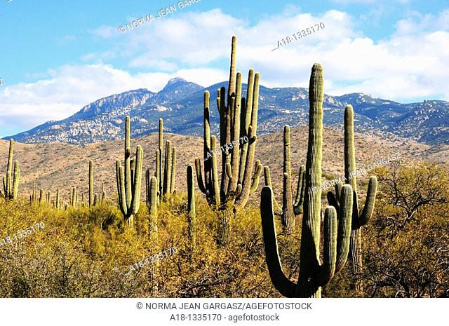 Saguaro and other cactus grow in the foothills of the Rincon Mountains, Sonoran Desert, Vail, Arizona, USA
