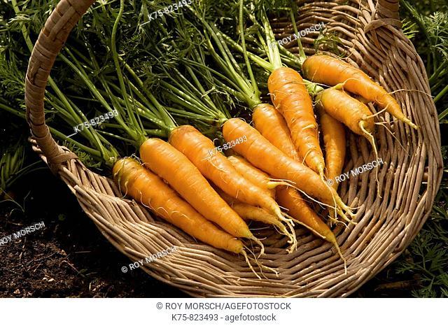 basket of organic carrots