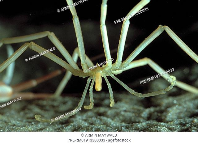 Sea Spider, Spider, Pantopoda spec
