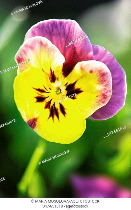 Pansy. Viola x wittrockiana. April 2007, Maryland, USA