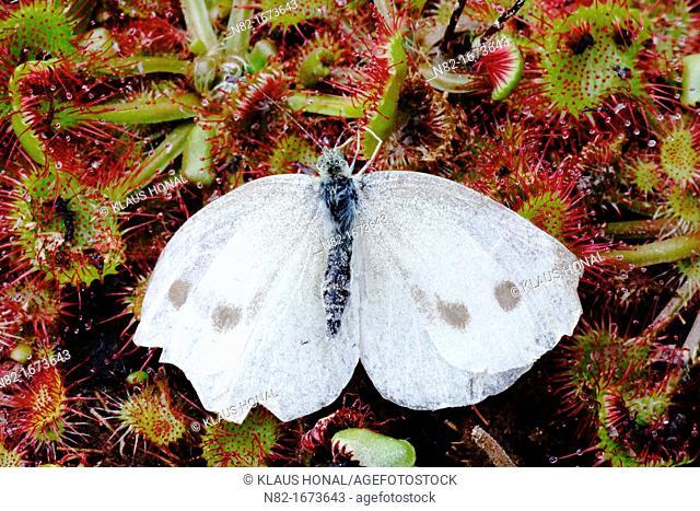 Large White Butterfly Pieris brassicae caught in Round Leaved Sundew Drosera rotundifolia - Bavaria/Germany