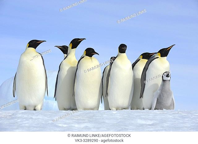Emperor penguins, Aptenodytes forsteri, Group of Adults with Chick, Snow Hill Island, Antartic Peninsula, Antarctica