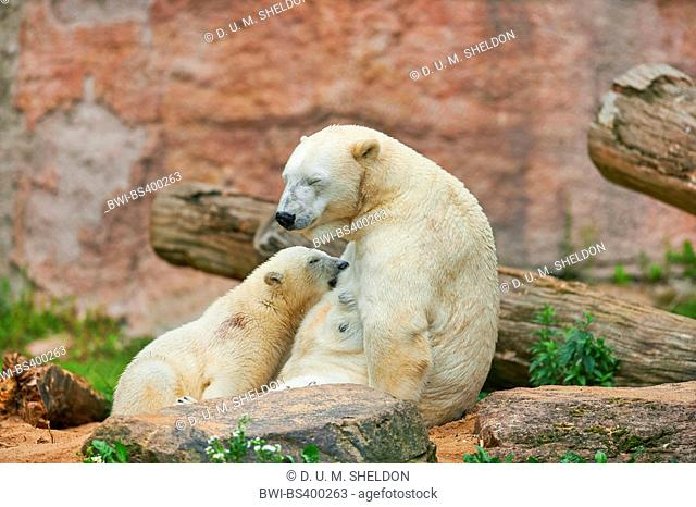 polar bear (Ursus maritimus), polar bear cub is suckled by its mother