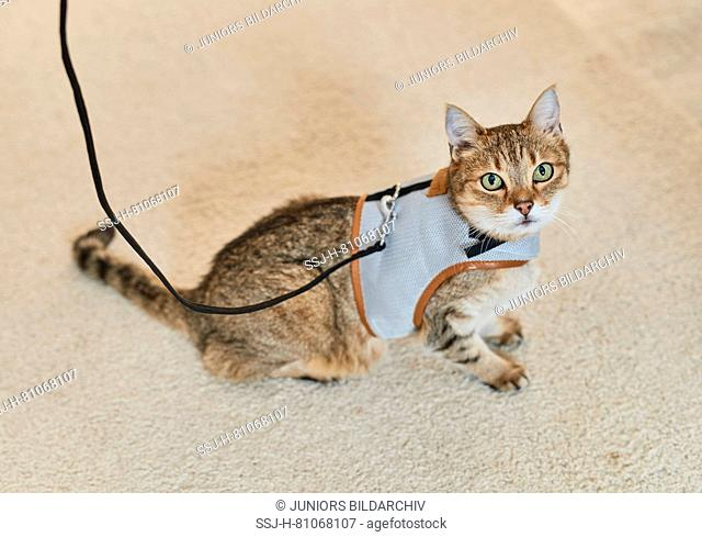 Domestic cat. Tabby adult with harness and lead. Germany