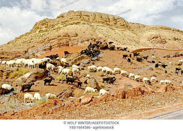 Sheep and Goats at Ait Youli