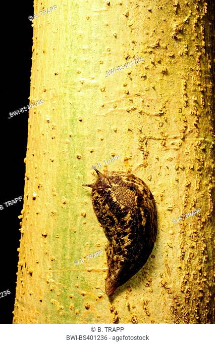 snail (Platevindex ), snail on a tree trunk in New Caledonia, New Caledonia, Ile des Pins