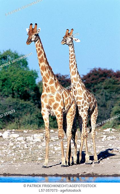 Giraffes (Girafa camelopardalis). Etosha National Opark. Namibia