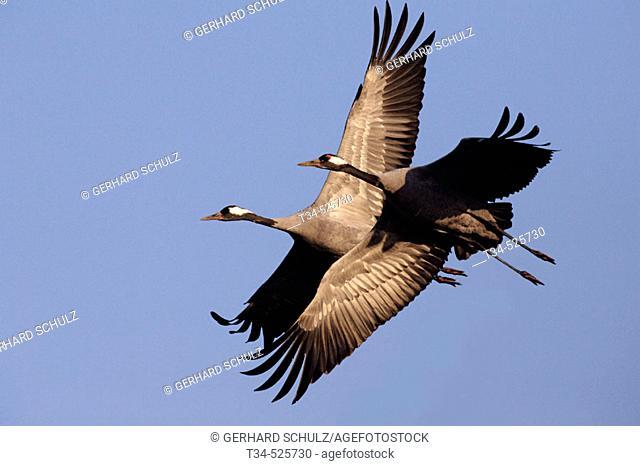 Crane. Migration. Grus grus. Mecklenburg-Vorpommern, Germany