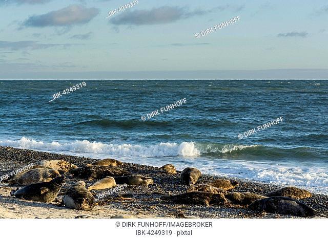 Colony of grey seals (Halichoerus grypus) Helgoland, Schleswig-Holstein, Germany