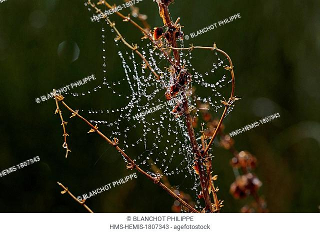 France, Gers, Araneae, Son spider silk with dewdrops