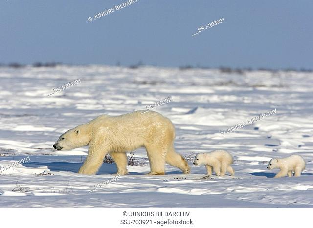 Polar Bear (Ursus maritimus, Thalarctos maritimus). Mother with twin cubs walking in tundra. Wapusk National Park, Canada