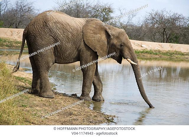 An african elephant (Loxodonta africana) drinking at a waterhole in South Africa