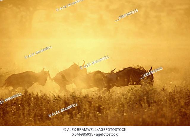 Wildebeest running across the Serengeti at sunset