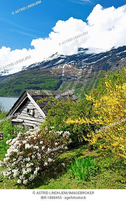 Old cabin with apple tree, Lofthus, Hardangerfjord, Norway, Europe
