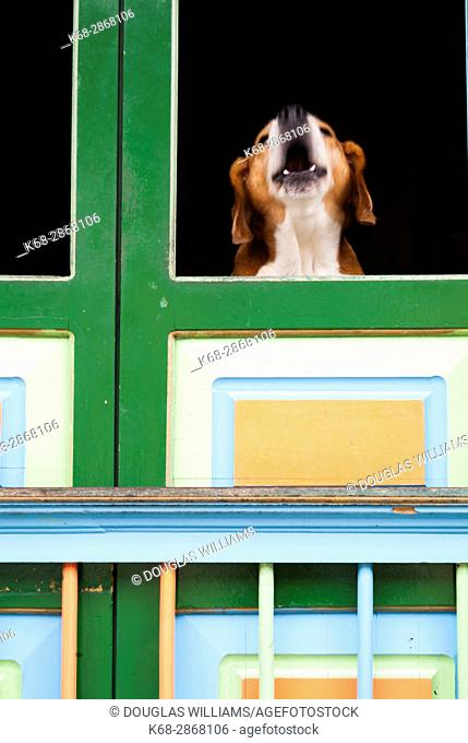 Dog barking at a window in Filandia, Colombia, South America