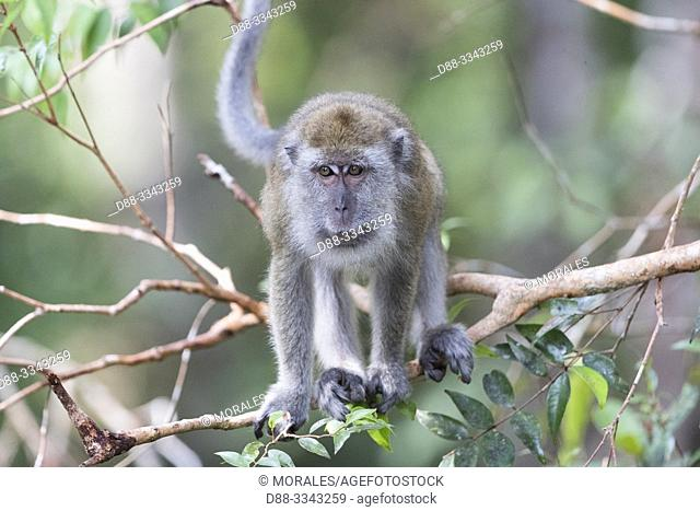 Asia, Indonesia, Borneo, Tanjung Puting National Park, Crab-eating macaque or long-tailed macaque (Macaca fascicularis), in a tree near by the water.