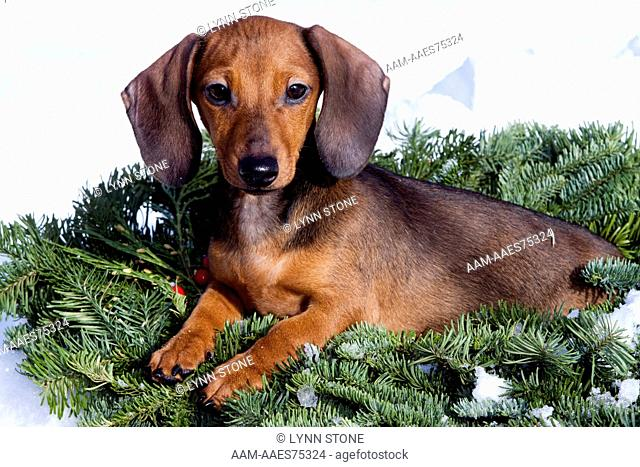 Mini Dachshund pup in Christmas wreath and snow; Gurnee, Illinois, USA (PD)