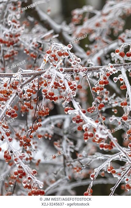 Detroit, Michigan USA - 12 February 2019 - A crab apple tree is coated in ice after snow, sleet, and freezing rain fell in southeast Michigan