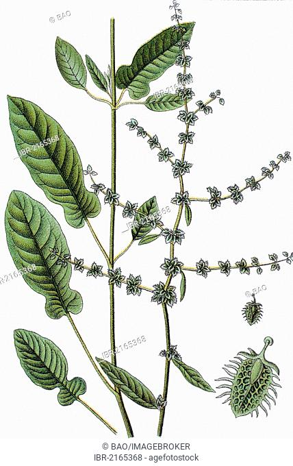 Fiddle Dock, sorrel (Rumex pulcher), medicinal and useful plant, chromolithograph, circa 1790