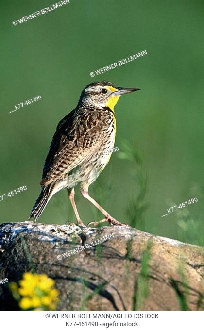 Western Meadowlark (Sturnella neglecta), male. Custer State Park, South Dakota, USA