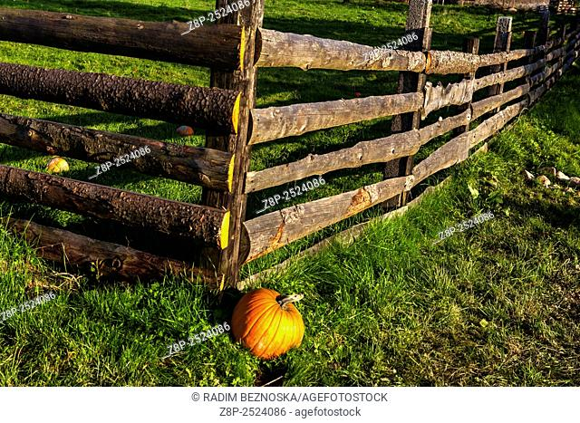 Pumpkins on the grass and wooden fence farm