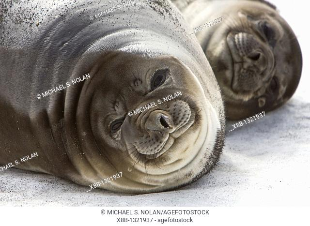 Mother and pup southern elephant seal Mirounga leonina on the beach at President Head on Snow Island in the South Shetland Island Group