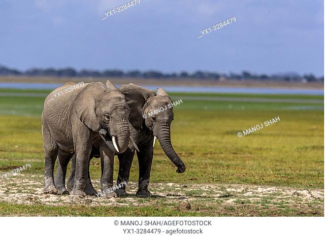 African Elephants feeding in the marsh in Amboselli National Park