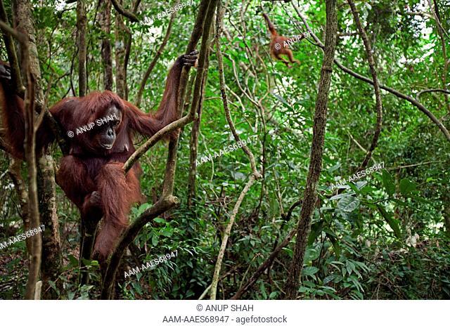 Bornean Orangutan female 'Gara' sitting in a tree while her daughter 'Gita' aged 2 years plays - wide angle perspective (Pongo pygmaeus wurmbii)