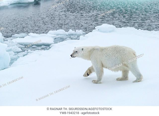 Polar Bear Portrait, Greenland