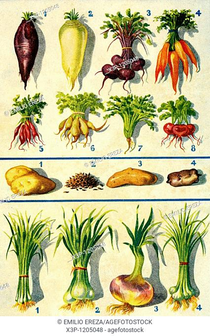 Assorted roots, bulbs and vegetables  Antique illustration  1900