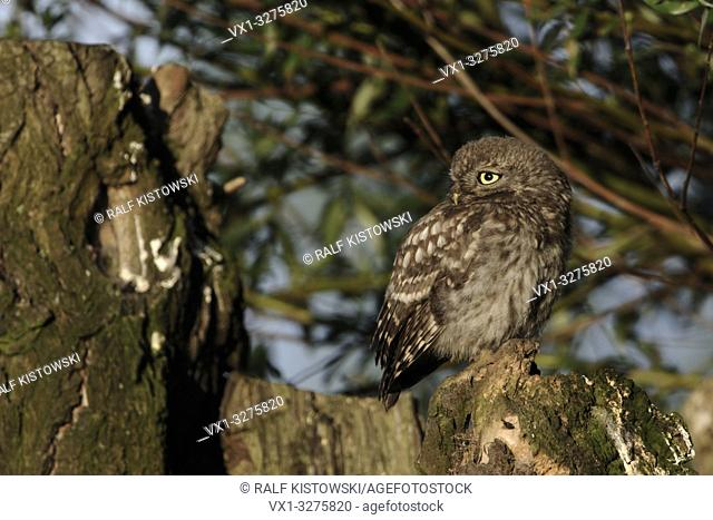 Little Owl (Athene noctua), young bird, sunbathing on an old pollard tree, looks back over its shoulder