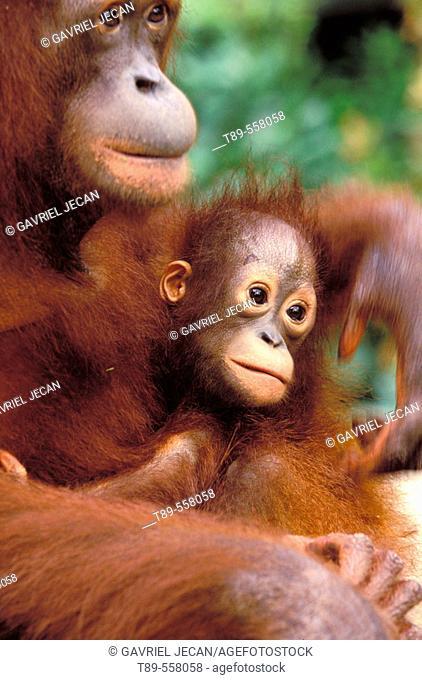 Borneo, Tanjung National Park Orangutan (Pongo Pygmaeus) mother with baby