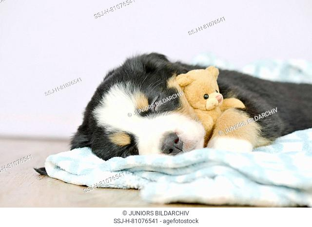 Bernese Mountain Dog. Tired puppy (5 weeks old) with its teddy bear. Studio picture. Germany