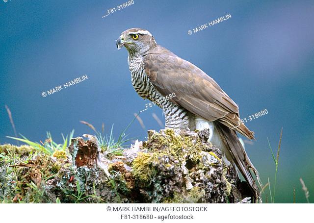 Northern Goshawk (Accipiter gentilis). Feeding on prey. Strathspey. Scotland. UK