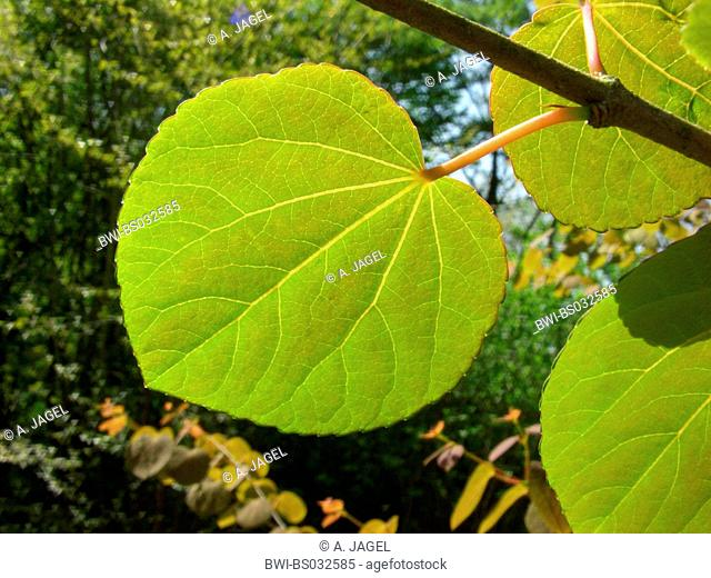 katsura tree (Cercidiphyllum japonicum), young leaf in backlight
