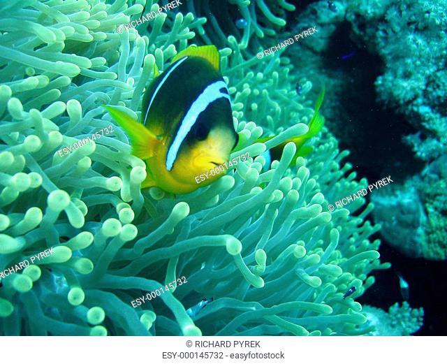 Anemonenfisch IV