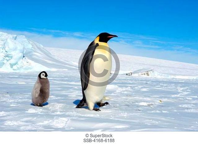 ANTARCTICA, WEDDELL SEA, SNOW HILL ISLAND, EMPEROR PENGUIN COLONY Aptenodytes forsteri, ADULT WITH CHICK WALKING ON FAST ICE