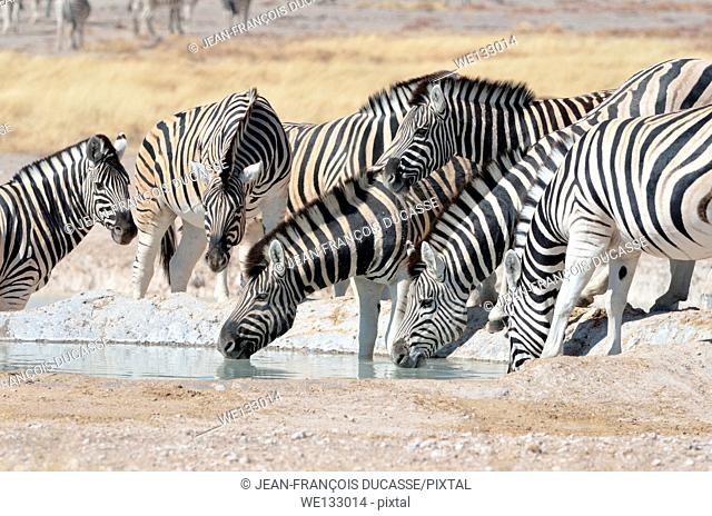 Young Burchell's zebra (Equus burchelli), in the middle of the herd, drinking at waterhole, Etosha National Park, Namibia, Africa